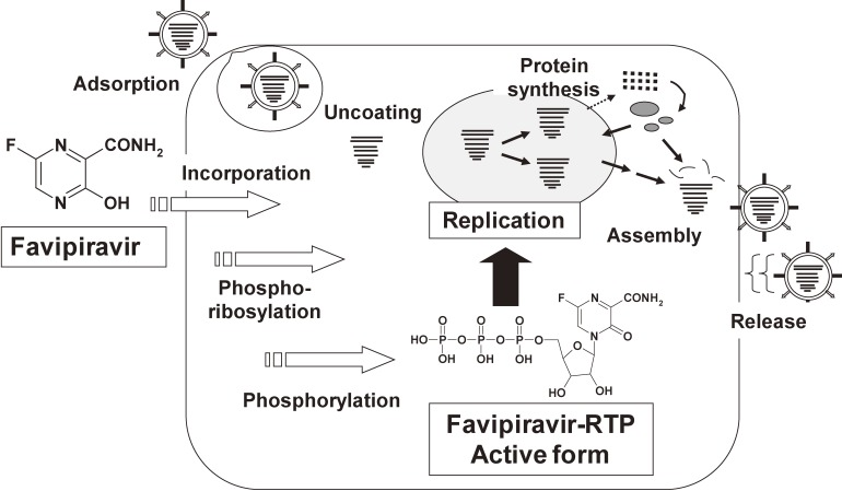 Mechanisms-of-Action-of-Favipiravir